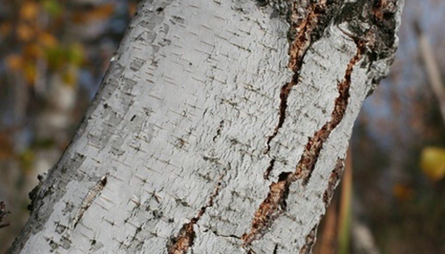 Split bark and cankers on a birch tree trunk.