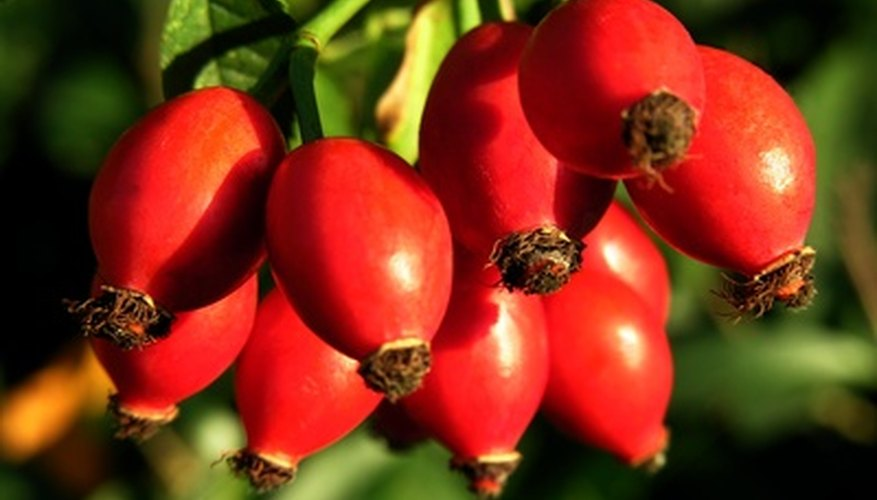Rose hips: fully developed pollinated ovaries