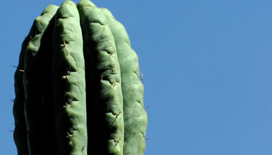 A nearly thornless San Pedro cactus