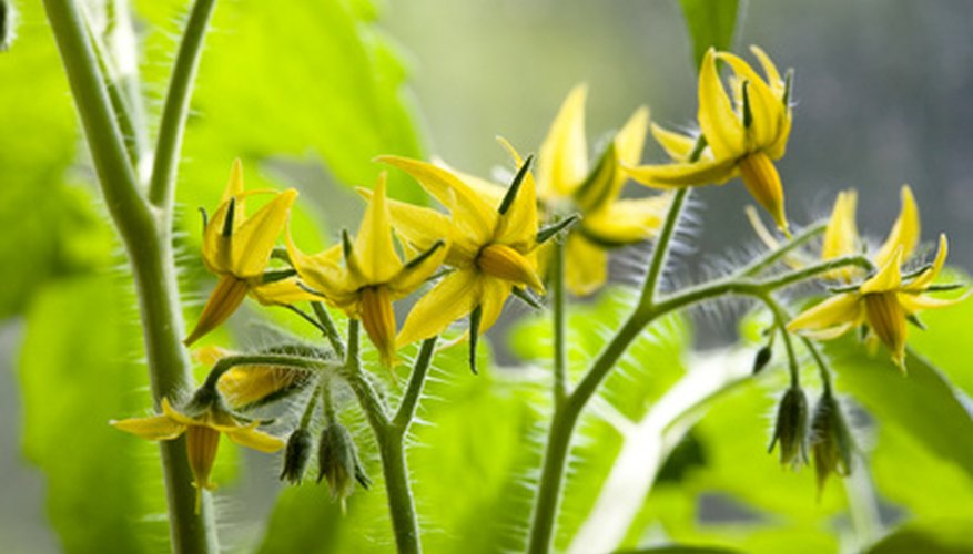 A cluster of tomato flowers, showing the outer corollas and inner stamens.