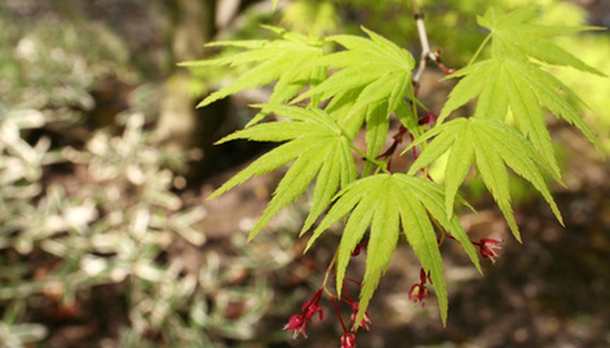 Taking cuttings is one method of propagating Japanese maples.