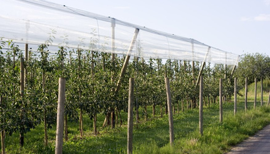 Fruit trees growing on an orchard