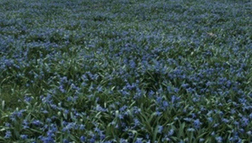 Siberian squill preforms best in mass plantings.