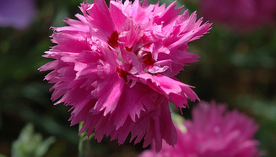 Carnations come in double petal varieties