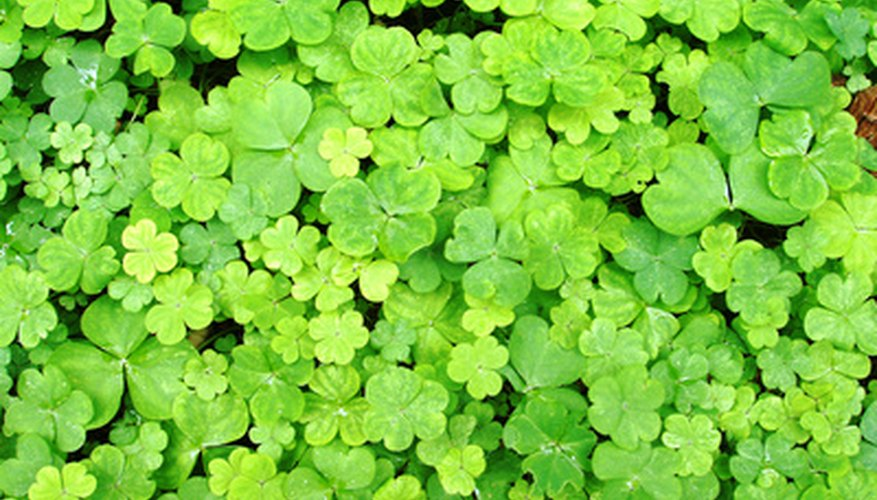 Clover is used as ground cover.