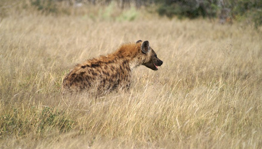 The hyena is a natural enemy of the African wild dog.