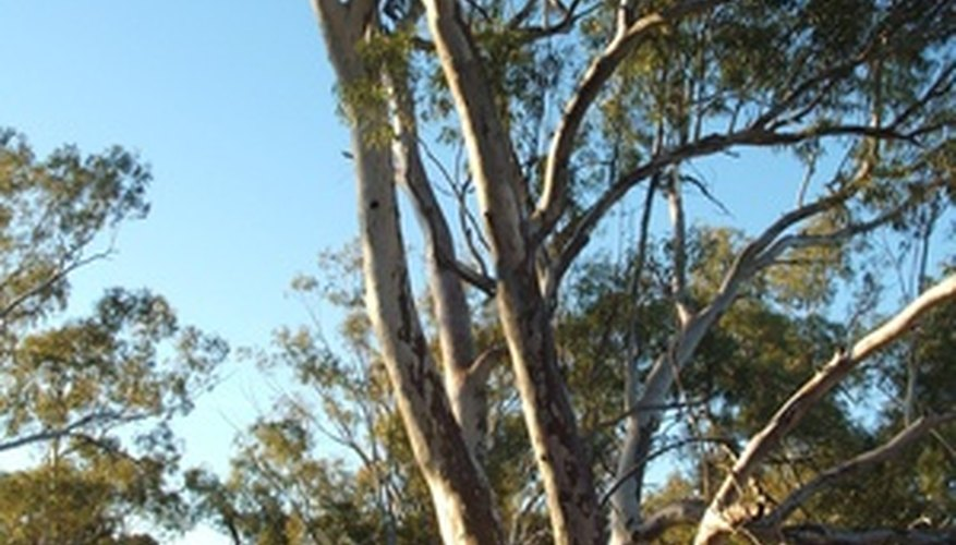 Some eucalyptus trees in California are over a century old.