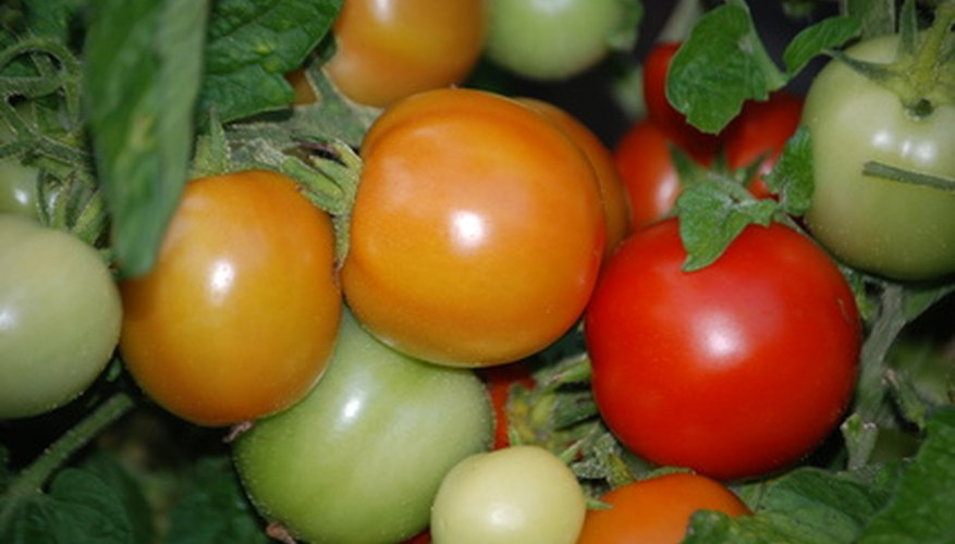 Tomatoes at different stages of ripeness