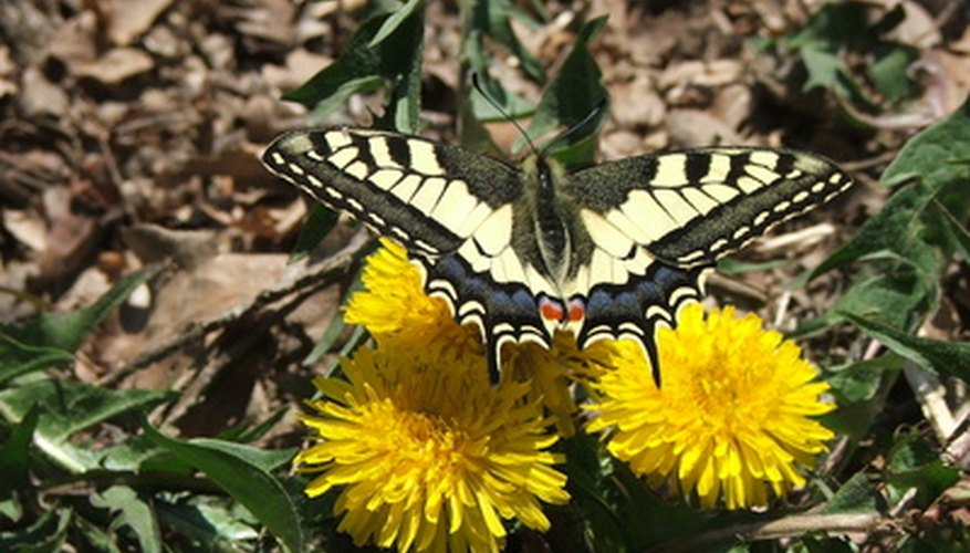 Dandelions attract butterflies.