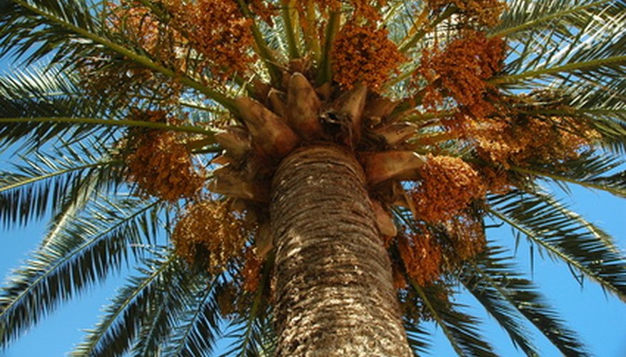 A queen palm tree