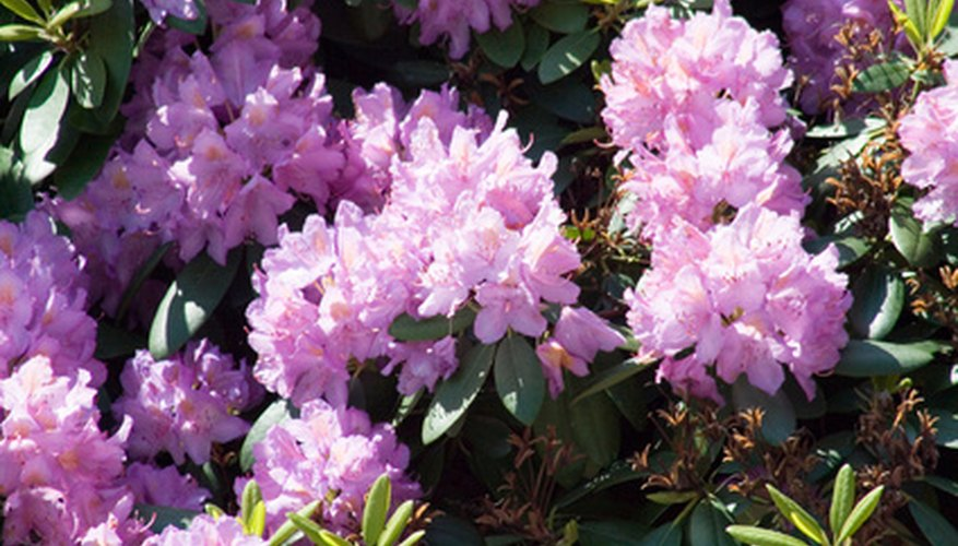 Rhododendrons put on a showy floral display.