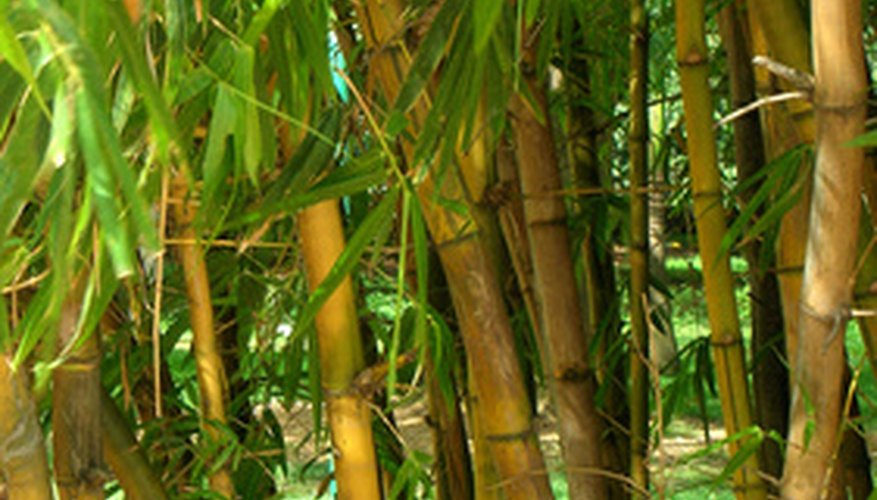 Golden bamboo is one of the most sought after running bamboos.