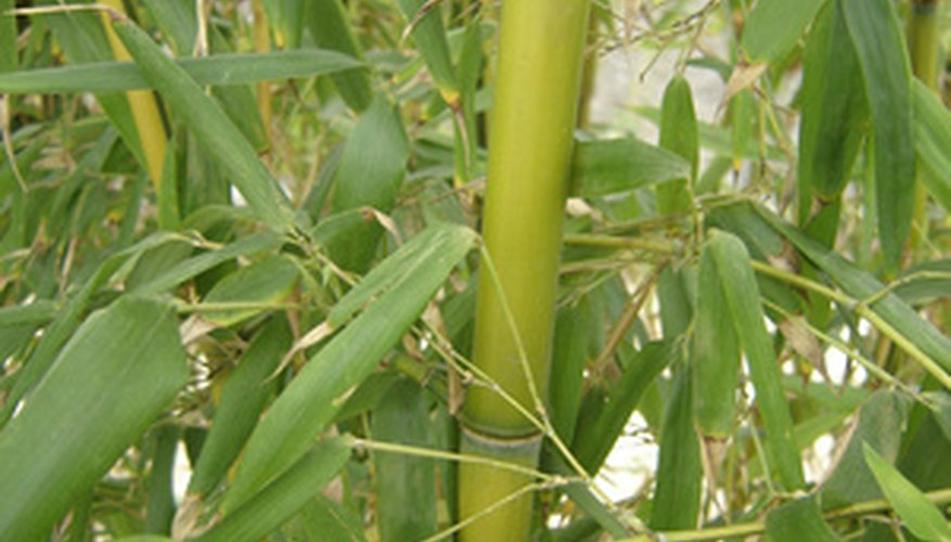 Bamboo is a collection of ornamental grasses.