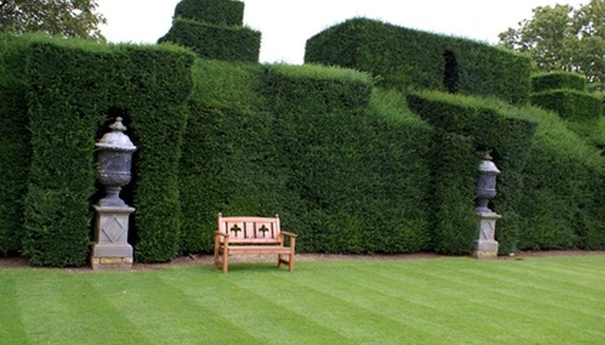 Well-manicured yew shrubs.