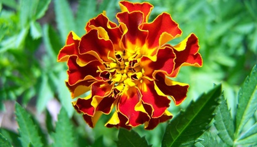 Marigolds display fiery colors.