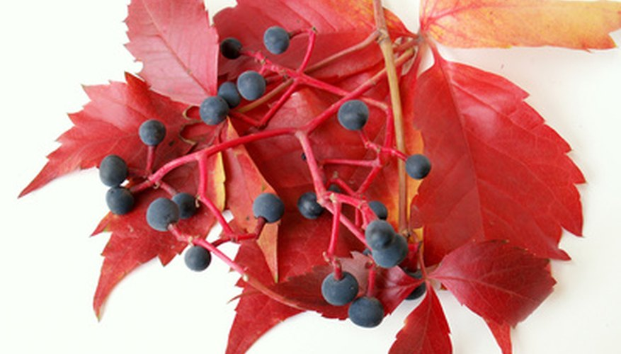 Some shade tolerant vines offer color and berries