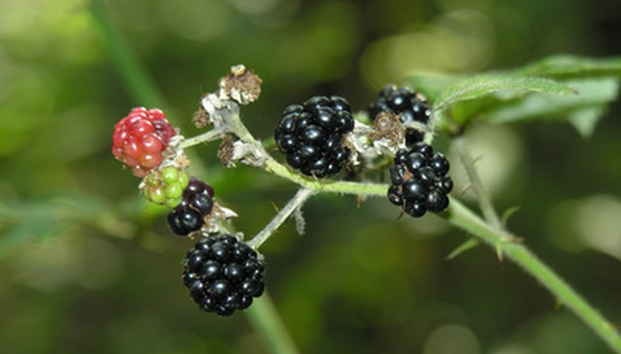 Blackberries grow in Ohio.