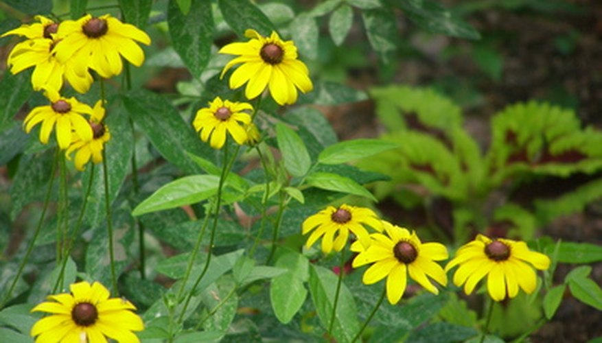 Plant black-eyed Susans in clumps in your wildflower garden.