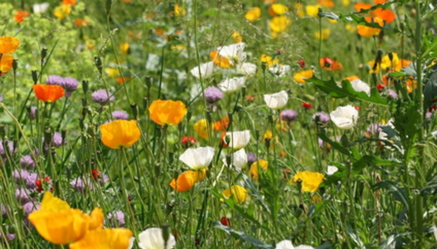 Grow poppies for bees.