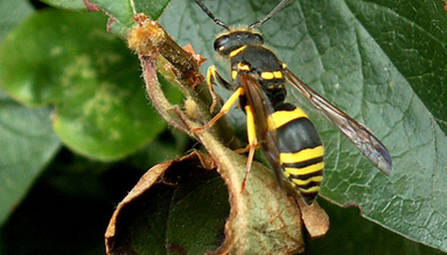 The larra wasp, an indicator that mole crickets are about to infest your lawn.