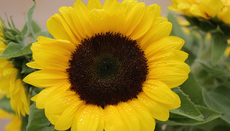 Flowers like those on sunflowers are radially symmetrical.