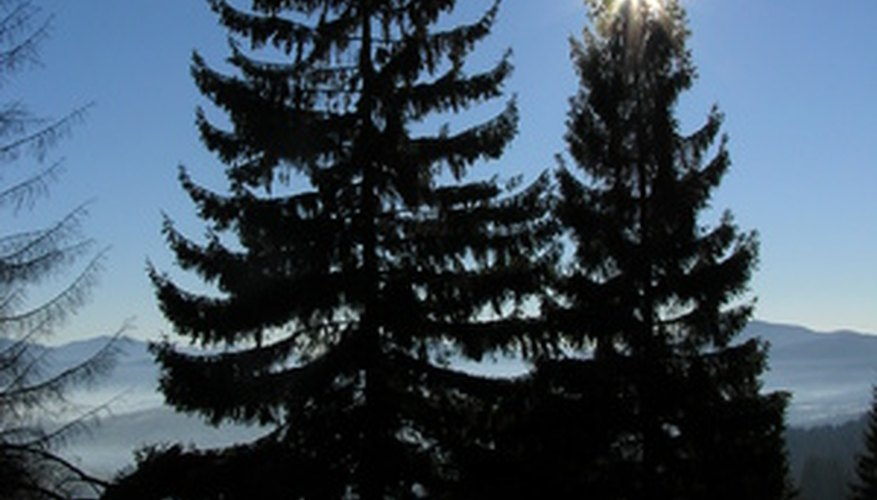 The stately douglas fir is one of the largest conifers.