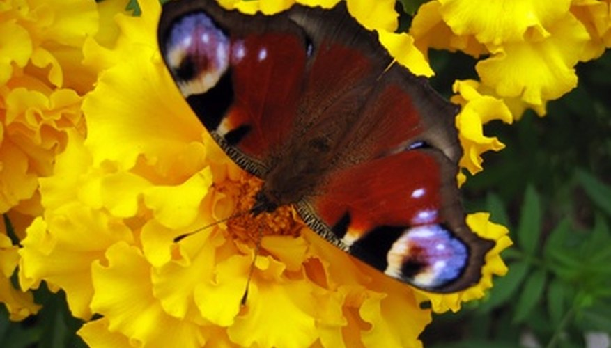 Butterfly feeding on a marigold