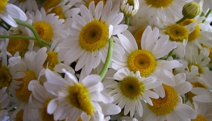 Daisies signify innocence in the form of delicate, white blooms.