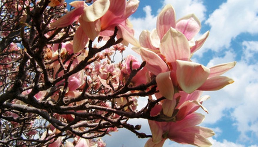 Magnolia trees have large, attractive flowers.