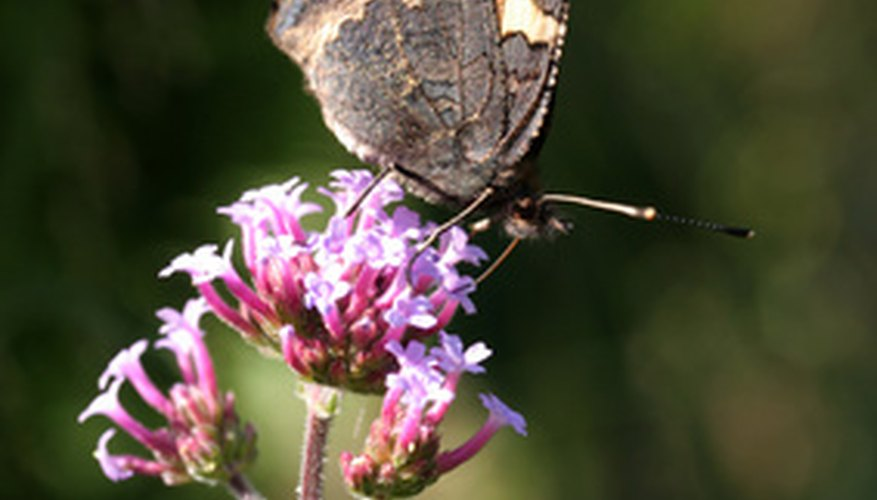 Verbena, an old garden favorite, is pollinated by butterflies.