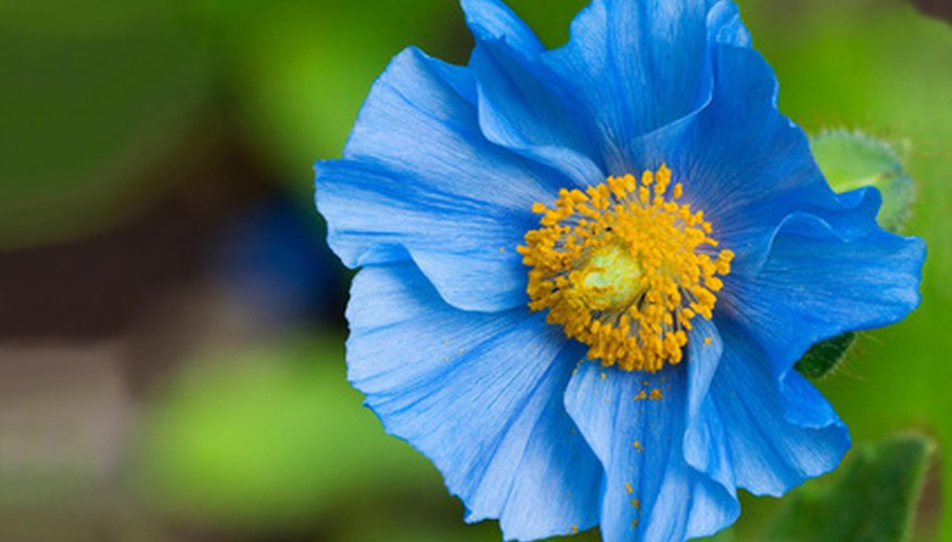 Blue poppies have a reputation for being hard to grow.