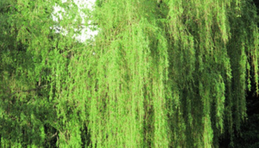 White weeping willow tree.
