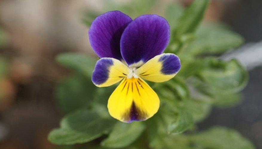 Wild violets are weeds with small purple flowers.