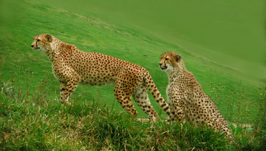 Cheetahs have developed the ability to run at exceptionally fast speeds.
