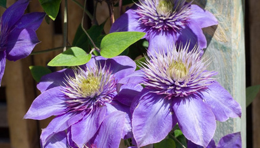Clematis is  perennnial vine that has large, showy flowers all season.