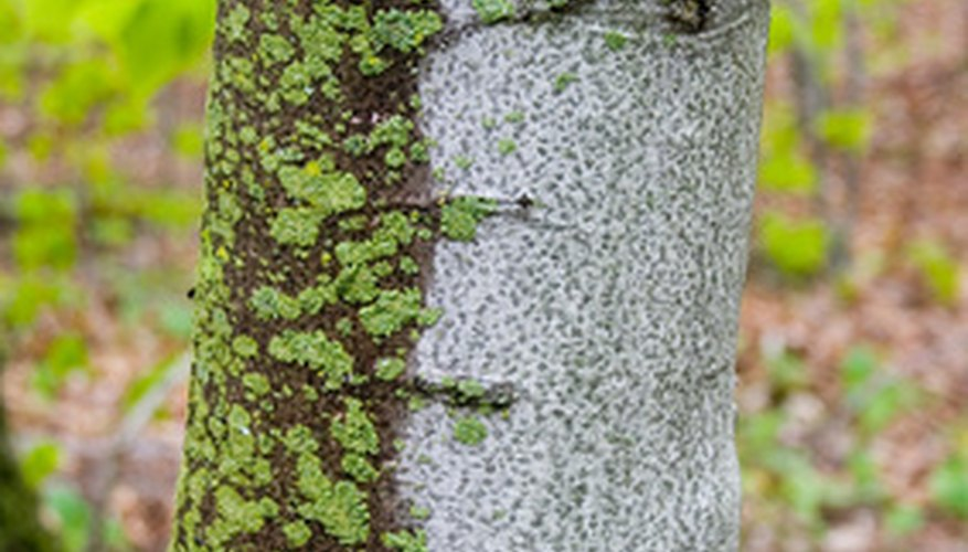 White birch trees are beautiful, but highly susceptible to diseases and fungal infections.