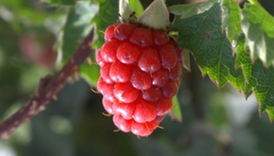 Raspberry plants can quickly take over your yard.