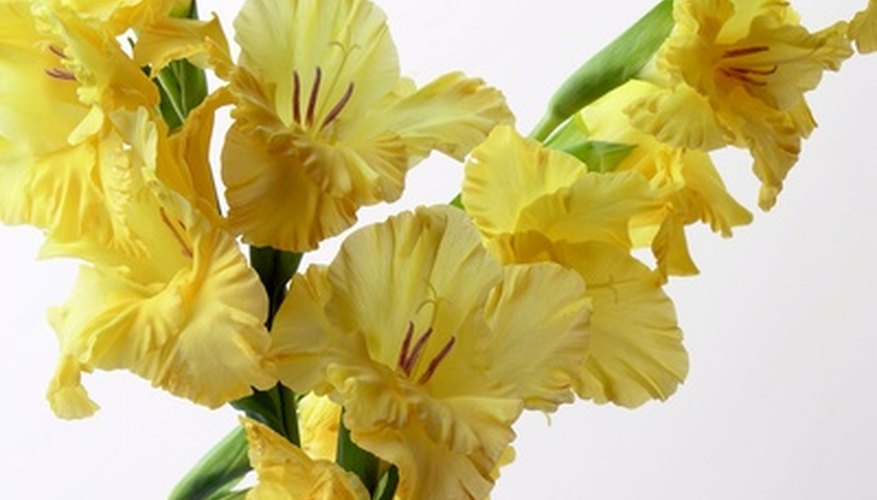 Grow gladiolus plants for colorful spring flowers.