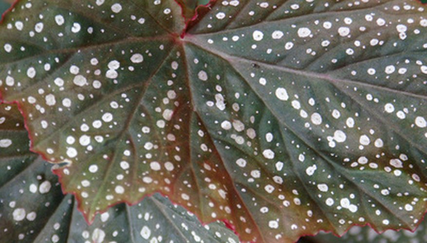 The leaf of a begonia can be sliced apart and wedged into warm, moist soil to make new plants.