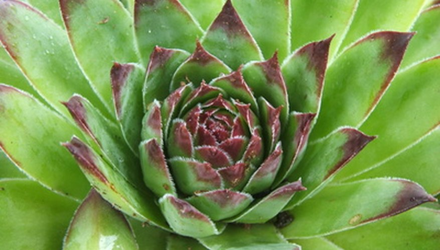 Hen-and-chicks is a well-known, hardy succulent.