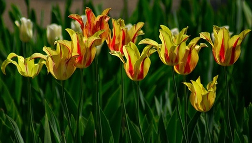 Tulips are grown in a wide range of colors.