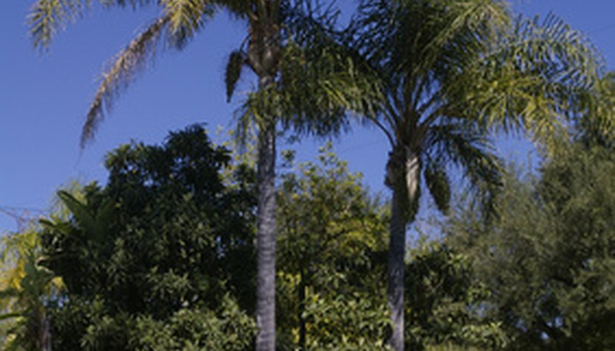 Healthy palms have deep green foliage.