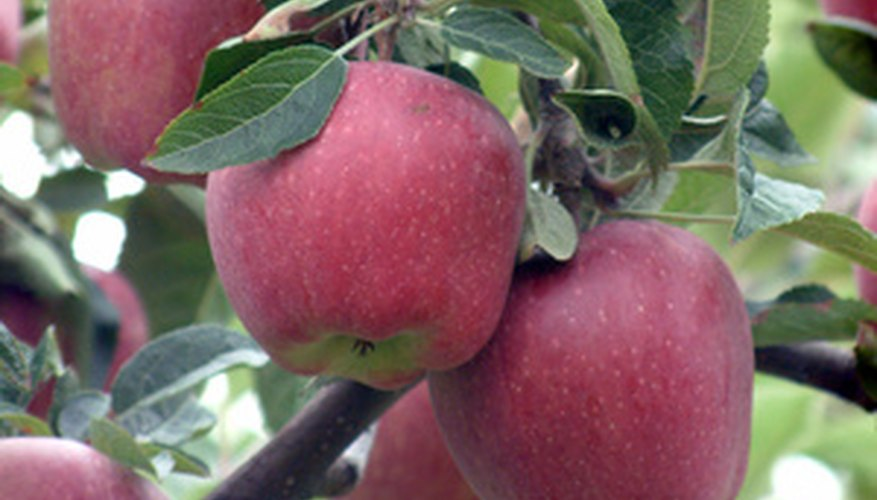 Red Delicious apples are the most-produced apple in Washington State.