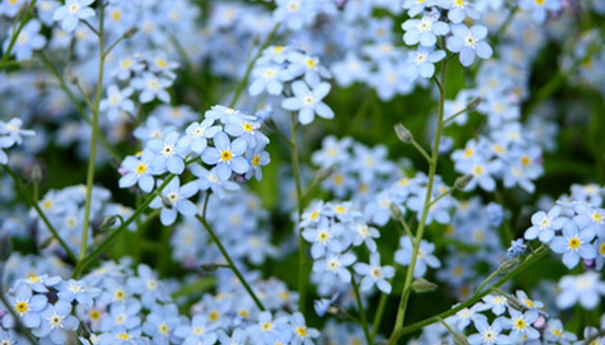 The diminutive flowers of forget-me-not, taken together, bring a lot of color to places away from full sun.