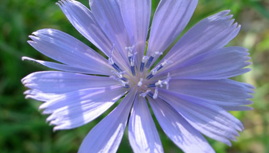 Chicory weed in bloom.