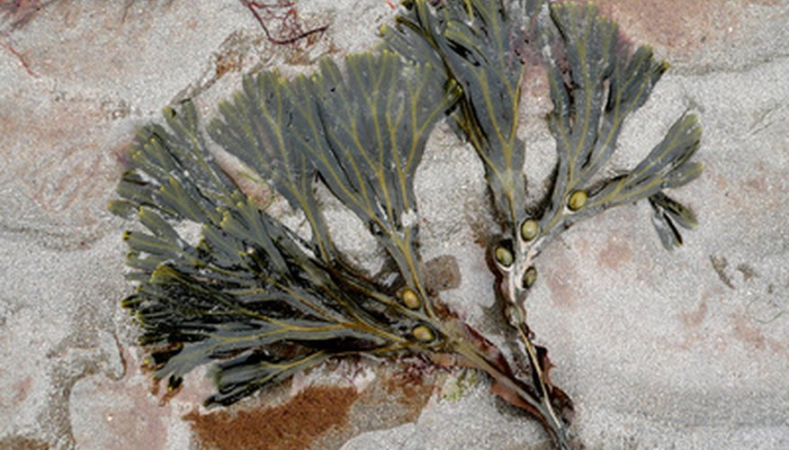 The frilly leaves on seaweed protect the plant from being torn apart by strong currents.