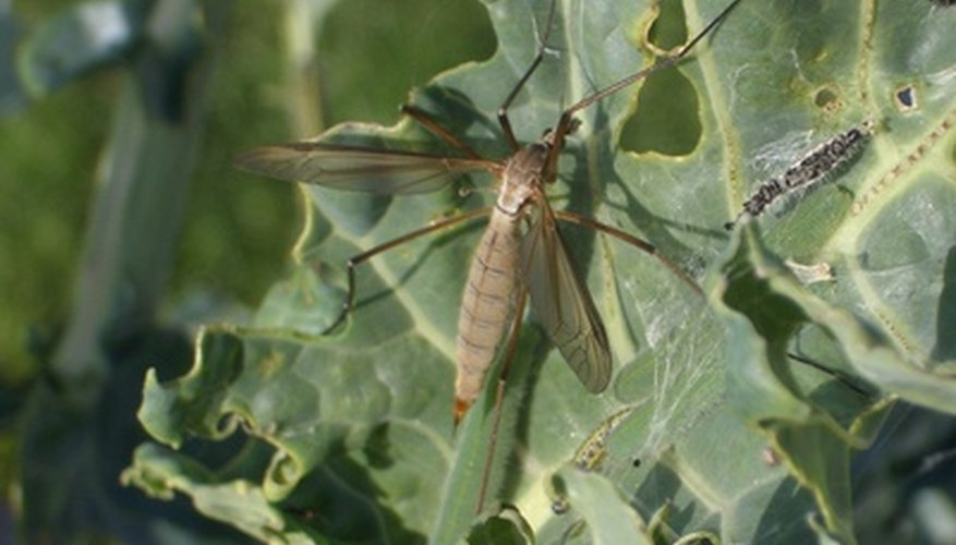 Insects are potentially controlled using organic insecticides such as derris.