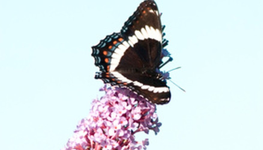 Butterflies can easily be enticed into a garden with the right plants.