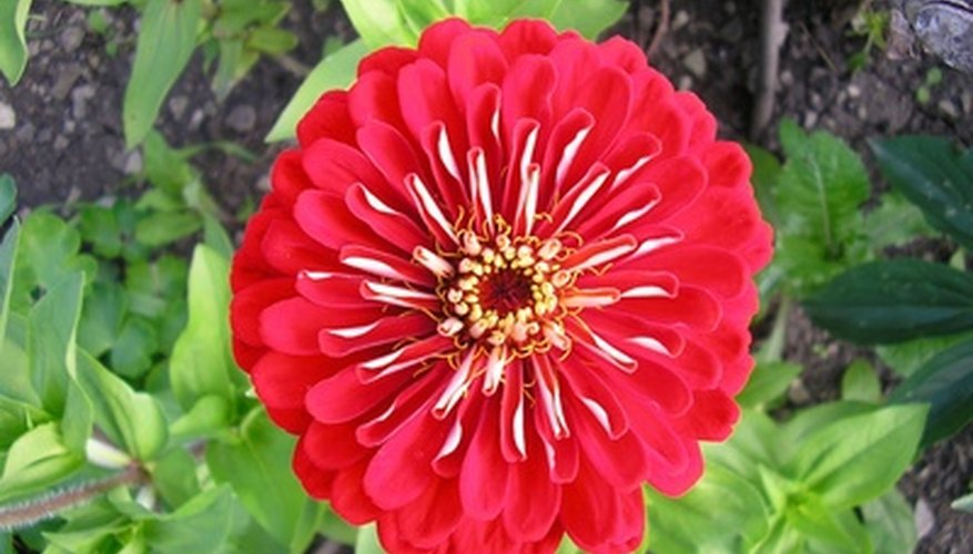 Sun-loving zinnias bloom in a range of colors and forms.