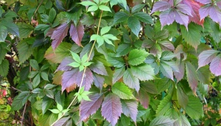 Often mistaken for poison ivy, Virginia creeper has a five distinctive leaflets.